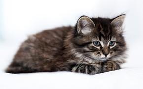 Картинка котенок, пушистый, лежит, светлый фон