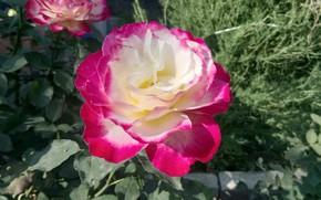 Картинка Роза, Ароматная, Двойное удовольствие