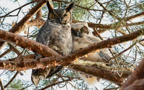 Картинка ветки, дерево, совы