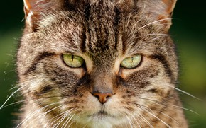 Картинка кот, взгляд, мордашка, котэ, котейка