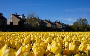Картинка поле, небо, деревья, цветы, синева, дома, весна, желтые, сад, тюльпаны, домики, много, плантация, голубое небо, …