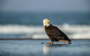 Картинка море, птица, берег, водоем, белоголовый орлан