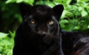 Картинка морда, хищник, ягуар, дикая
