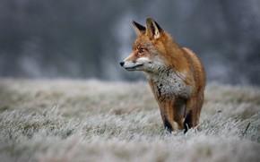 Картинка зима, иней, трава, природа, животное, лиса, лисица