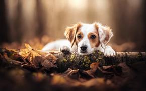 Картинка взгляд, морда, листья, собака, бревно, боке, Коикерхондье
