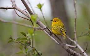 Картинка зелень, листья, ветки, природа, фон, дерево, птица, весна, листочки, птичка, желтая, маленькая, яркая, пташка