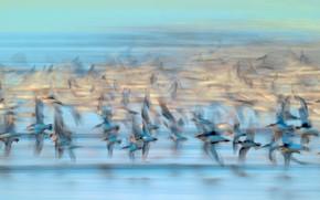 Картинка птицы, Франция, стая, Вандея, чернозобик