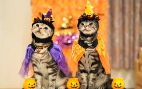 Картинка осень, взгляд, праздник, коты, пара, костюм, наряд, тыквы, парочка, два, хеллоуин, два кота