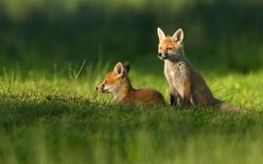 Картинка зелень, лето, трава, весна, лиса, лежит, лисы, малыши, рыжие, парочка, сидит, два, дикая природа, лисенок, …