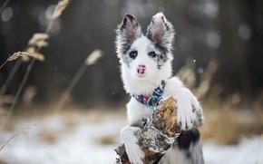Картинка зима, лес, белый, трава, взгляд, морда, снег, природа, поза, темный фон, дерево, стебли, портрет, собака, …