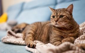 Картинка кошка, кот, взгляд, серый, диван, лежит, полосатый, котя