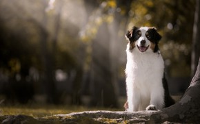 Картинка лучи, собака, боке, Австралийская овчарка, Аусси