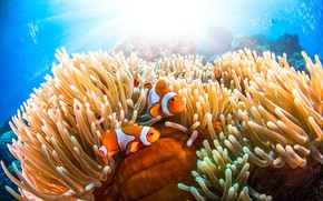 Картинка море, рыбки, подводный мир, анемоны, рыба-клоун