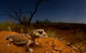 Картинка природа, ящерица, Smooth knob-tailed gecko, Nephrurus levis