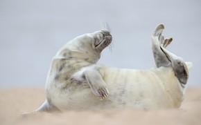 Картинка поза, фон, берег, тюлень, мордашка, морской котик, детеныш, ластоногие