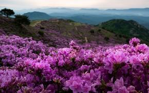 Картинка пейзаж, цветы, горы, природа, туман, холмы, Южная Корея, рододендроны