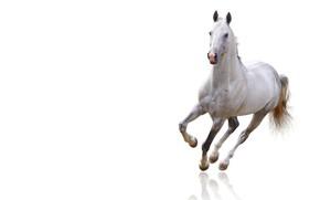Картинка белый, взгляд, морда, фон, животное, конь, лошадь, светлый, белая, копыта, красавец, скакун, чистое пространство, парнокопытное