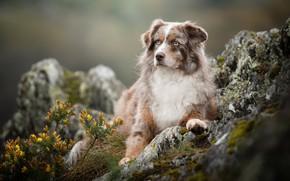 Картинка цветы, камни, собака, боке, Австралийская овчарка, Аусси