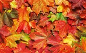 Картинка осень, листья, фон, colorful, rainbow, клен, autumn, leaves, maple