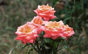 Картинка цветы, розы, сад, розовые, боке