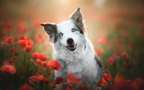Картинка взгляд, морда, цветы, улыбка, настроение, маки, собака, боке