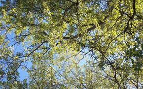 Картинка небо, листья, ветки, тополь, Meduzanol ©