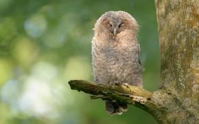Картинка дерево, сова, птица, ветка, зеленый фон, сук, боке, закрытые глаза