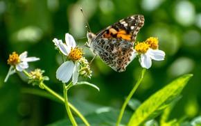 Картинка бабочка, цветочки, butterfly