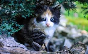 Картинка кошка, ветки, природа, котенок, пушистый, малыш, коряга, котёнок, голубые глаза, хвоя, боке, пятнистый, трехшерстный
