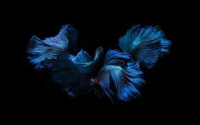 Картинка синий, цвет, рыбка, черный фон, плавники, хвосты
