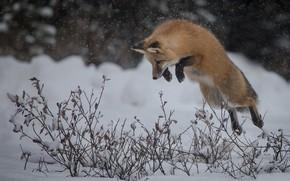 Картинка зима, снег, ветки, прыжок, лиса, охота, рыжая, кусты