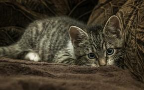 Картинка кошка, взгляд, поза, темный фон, котенок, серый, диван, покрывало, лежит, мех, котёнок, мордашка, полосатый, красавчик