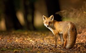 Картинка взгляд, темный фон, свет, лисица, рыжая, природа, деревья, морда, листья, стволы, листва, хвост, лиса, осень, …