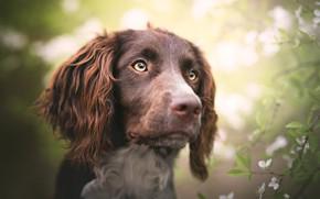 Обои глаза, взгляд, морда, листья, свет, цветы, ветки, фон, портрет, собака, весна, сад, светлый фон, цветение, ...
