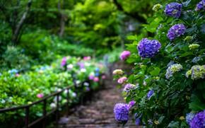 Картинка лето, цветы, сад, кусты, гортензия