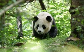 Картинка морда, листья, природа, поза, заросли, медведь, панда, медвежонок, зоопарк, боке