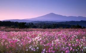 Обои цветы, гора, Япония, космея, Юрихондзё