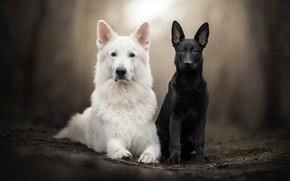 Картинка взгляд, парочка, боке, две собаки