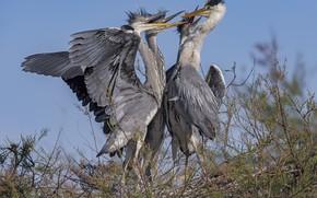 Картинка птицы, природа, гнездо, цапли, DUELL ©
