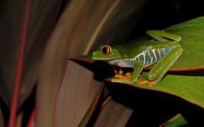 Картинка взгляд, листья, лягушка