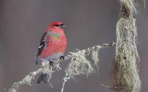 Картинка птица, Обыкновенный щур, Pinicola enucleator