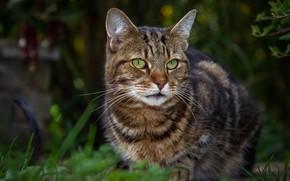 Картинка кошка, взгляд, серый, природа, полосатый, котик, зеленые глаза, морда, боке, лето, сидит, трава, кот