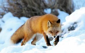 Картинка зима, снег, природа, животное, Аляска, лиса, лисица