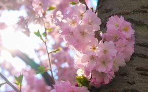 Картинка свет, цветы, ветки, вишня, дерево, настроение, весна, сакура, ствол, розовые, кора, цветение, боке