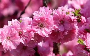 Картинка макро, цветы, ветка, весна, сакура, розовые, цветение, боке