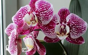 Картинка цветы, орхидеи, розовые орхидеи