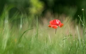 Картинка цветок, лето, трава, поляна, мак, маки, размытие, боке