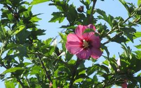 Картинка лето, листья, ветки, куст, 2018, июнь, розовый цветок, Mamala ©