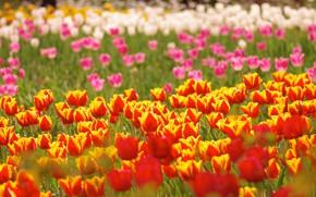 Картинка фон, тюльпаны, боке