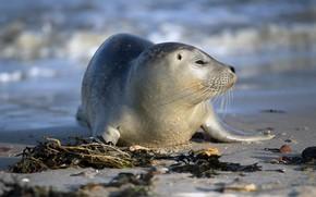Картинка море, природа, улыбка, берег, тюлень, детеныш, ластоногие